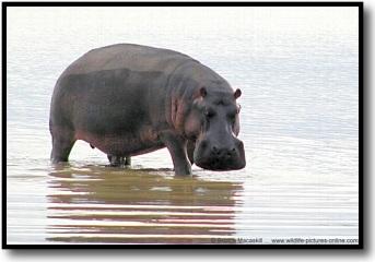 hippopotamus%20pictures.jpg